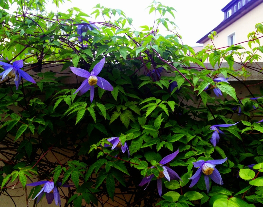 clematis_in_bloom.jpg