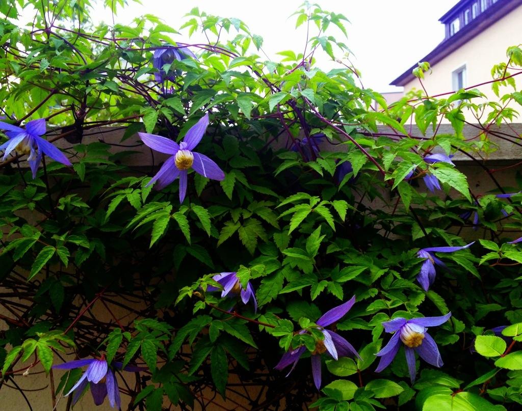 clematis_in_bloom.jpg