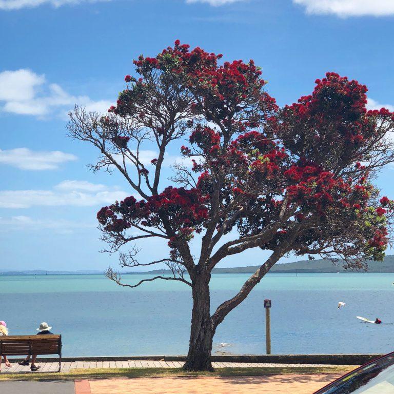 Pohutukawa Tree, St Heliers Beach, NZ   berlinmittemom.com