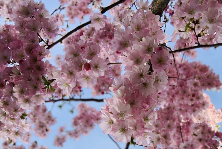 Kirschblüten   berlinmittemom.com