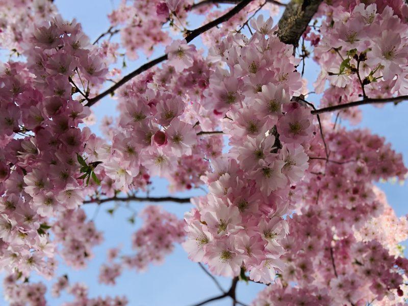 Kirschblüten | berlinmittemom.com