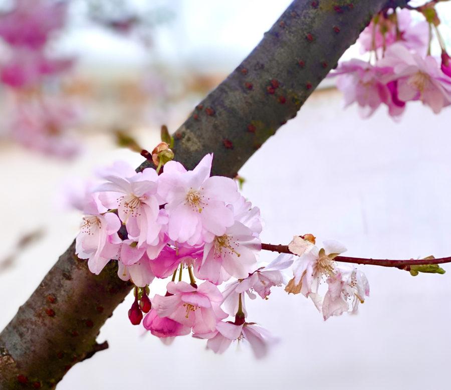 Kirschblüte | berlinmittemom.com
